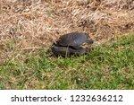 long necked swamp tortoise... | Shutterstock . vector #1232636212