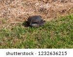 long necked swamp tortoise... | Shutterstock . vector #1232636215