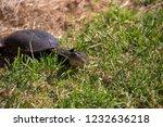 long necked swamp tortoise... | Shutterstock . vector #1232636218