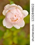 pink rose in the garden in a... | Shutterstock . vector #1232848822