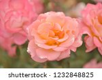 pink rose in the garden in a... | Shutterstock . vector #1232848825