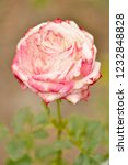 pink rose in the garden in a... | Shutterstock . vector #1232848828