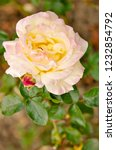 yellowish brown rose in the... | Shutterstock . vector #1232854792