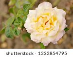 yellowish brown rose in the... | Shutterstock . vector #1232854795