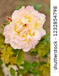 yellowish brown rose in the... | Shutterstock . vector #1232854798