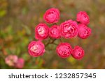 red and pink rose in the garden ... | Shutterstock . vector #1232857345