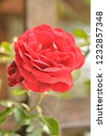 red and pink rose in the garden ... | Shutterstock . vector #1232857348
