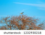 flying falcon with hunt. blue... | Shutterstock . vector #1232930218