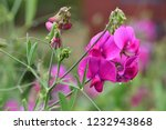 Close Up Of Pink Sweet Pea ...