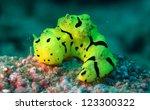 Small photo of Nudibranch, Aegires minor