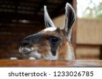 lama stands in the stall ... | Shutterstock . vector #1233026785