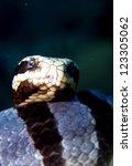 Small photo of Laticauda colubrina, sea snake