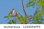 common nightingale  luscinia... | Shutterstock . vector #1233056995