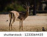 arabian gazalle at al qudra... | Shutterstock . vector #1233064435