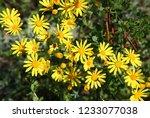 yellow doronicum flowers close... | Shutterstock . vector #1233077038
