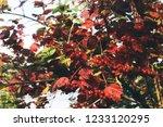 rowan autumn leaves  | Shutterstock . vector #1233120295