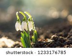 the first spring flowers...   Shutterstock . vector #1233176785