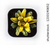 beautiful haworthia variegated  ... | Shutterstock . vector #1233190852