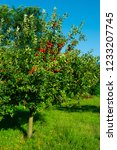 single apple tree at garden ... | Shutterstock . vector #1233207745