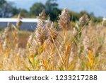 beautiful autumn reeds  scenery ...   Shutterstock . vector #1233217288