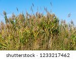 beautiful autumn reeds  scenery ...   Shutterstock . vector #1233217462