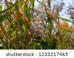 beautiful autumn reeds  scenery ...   Shutterstock . vector #1233217465