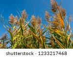 beautiful autumn reeds  scenery ...   Shutterstock . vector #1233217468
