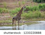 giraffe crossing river in... | Shutterstock . vector #1233220888