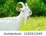goat grazing on a meadow near a ... | Shutterstock . vector #1233311545