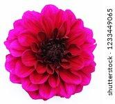 a dahlia plant | Shutterstock . vector #1233449065