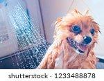 Pomeranian Dog With Red Hair I...