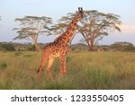 a curious reticulated giraffe... | Shutterstock . vector #1233550405