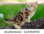 Stock photo a marble british cat walking outdoors 123356935
