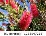 Red Bottlebrush Flower