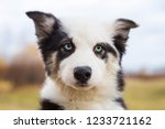 Portrait Yakut Husky Puppy...