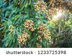 longan orchards   tropical... | Shutterstock . vector #1233725398