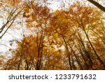beech forest in autumn   upward ... | Shutterstock . vector #1233791632