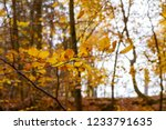 beech forest in autumn   upward ... | Shutterstock . vector #1233791635
