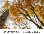 beech forest in autumn   upward ... | Shutterstock . vector #1233791662