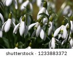 big group of white graceful... | Shutterstock . vector #1233883372
