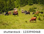 cows graze in a pasture in the... | Shutterstock . vector #1233940468