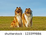 American And British Collie Dogs