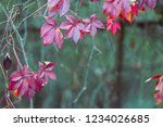 red leaves in the fall on a... | Shutterstock . vector #1234026685