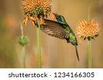 sparkling violet ear  colibri... | Shutterstock . vector #1234166305