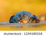 yacare caiman  crocodile with... | Shutterstock . vector #1234180318