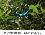 emerald swallowtail butterfly ... | Shutterstock . vector #1234193782