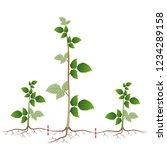 raspberry breeding is shown by...   Shutterstock .eps vector #1234289158