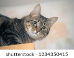 gray cat looking at the camera | Shutterstock . vector #1234350415