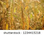 rice paddy fields in thailand.... | Shutterstock . vector #1234415218