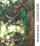 male resplendent quetzal with... | Shutterstock . vector #1234421638